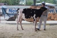 Priestland 6135 Solomon Ambrosia (Champion Calf)